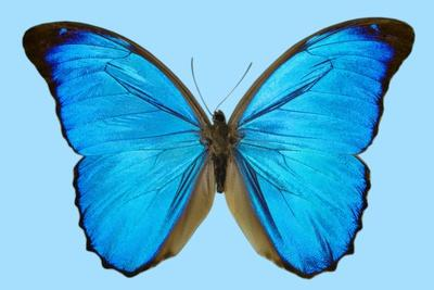 Blue Morpho Butterfly-Dr. Keith Wheeler-Framed Photographic Print
