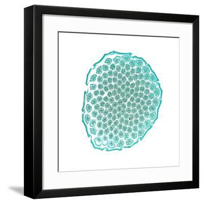 Dandelion (Taraxicum Officinale)-Dr. Keith Wheeler-Framed Photographic Print