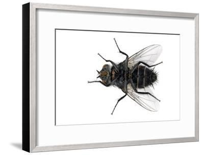 Parasitic Fly-Dr. Keith Wheeler-Framed Photographic Print