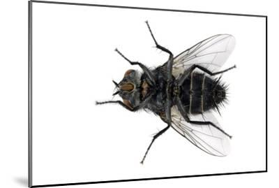 Parasitic Fly-Dr. Keith Wheeler-Mounted Photographic Print
