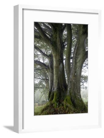 Beech Trees-Dr^ Keith-Framed Photographic Print