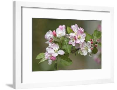 Apple Blossom (Malus X Domestica)-Dr. Keith Wheeler-Framed Photographic Print