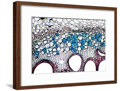 Phloem Plant Cells, Light Micrograph-Dr. Keith Wheeler-Framed Photographic Print