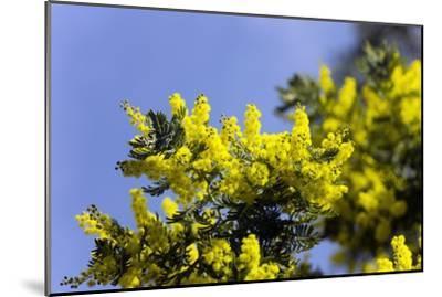 Mimosa Acacia Dealbata Subalpina Photographic Print By Dr Keith