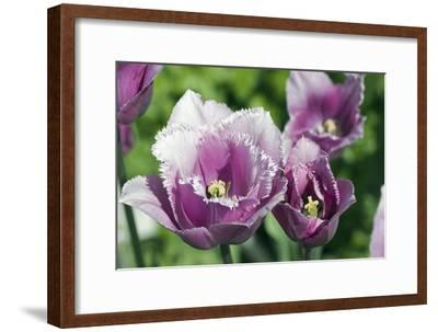 Tulip (Tulipa 'Blue Hevoa')-Dr. Keith Wheeler-Framed Photographic Print