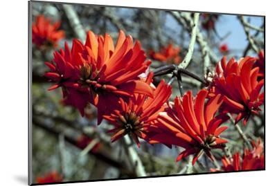 Kaffir Tree (Erythrina Kaffir) Flowers-Dirk Wiersma-Mounted Photographic Print