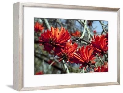 Kaffir Tree (Erythrina Kaffir) Flowers-Dirk Wiersma-Framed Photographic Print