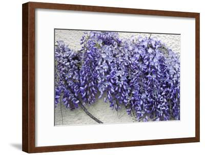 Wisteria Sp-Dr. Keith Wheeler-Framed Photographic Print