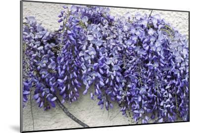 Wisteria Sp-Dr. Keith Wheeler-Mounted Photographic Print