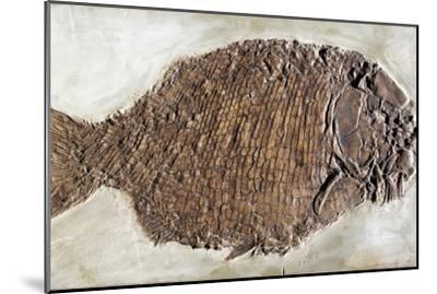 Fossil Fish, Dapedium Punctatus-Dirk Wiersma-Mounted Photographic Print