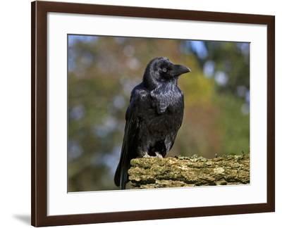 Common Raven-Linda Wright-Framed Photographic Print