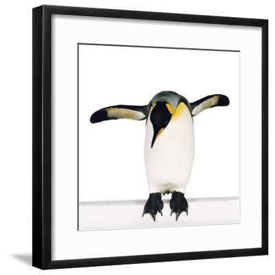 King penguin-Josh Westrich-Framed Photographic Print