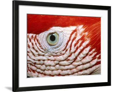 Eye of scarlet macaw-Theo Allofs-Framed Photographic Print