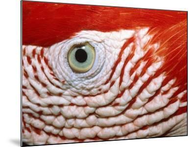 Eye of scarlet macaw-Theo Allofs-Mounted Photographic Print