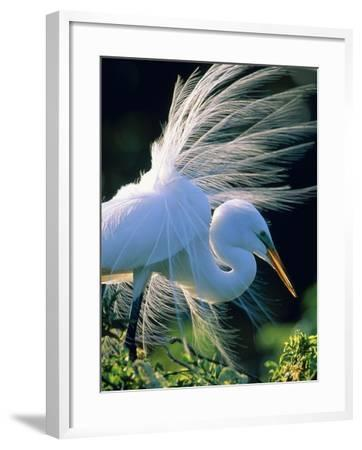 Great egret-Theo Allofs-Framed Photographic Print