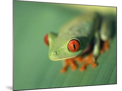 Red Eyed Tree Frog-Frans Lemmens-Mounted Photographic Print