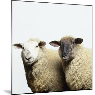 Sheep Standing Side by Side-Adrian Burke-Mounted Photographic Print