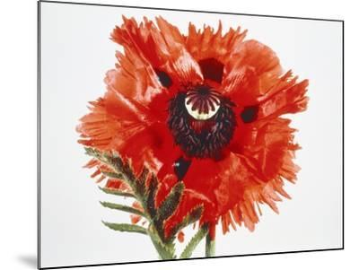 Red poppy blossom-Josh Westrich-Mounted Photographic Print