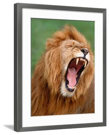 Male lion tearing his mouth open-Winfried Wisniewski-Framed Photographic Print