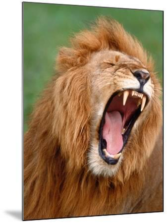 Male lion tearing his mouth open-Winfried Wisniewski-Mounted Photographic Print