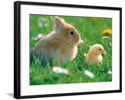 Chick and pygmy rabbit in the grass-Frank Lukasseck-Framed Photographic Print