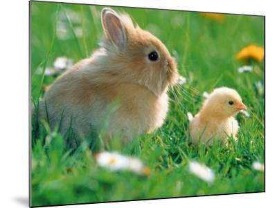 Chick and pygmy rabbit in the grass-Frank Lukasseck-Mounted Photographic Print