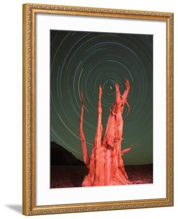 Star Trails and Bristlecone Pine Tree-Frank Lukasseck-Framed Photographic Print