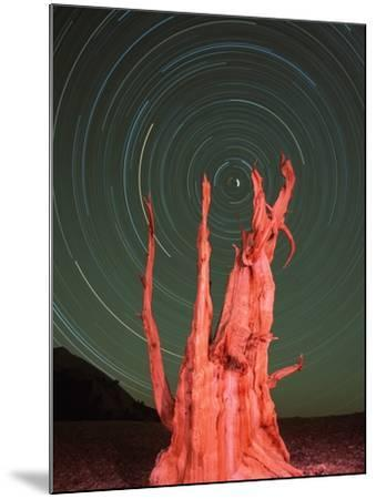 Star Trails and Bristlecone Pine Tree-Frank Lukasseck-Mounted Photographic Print