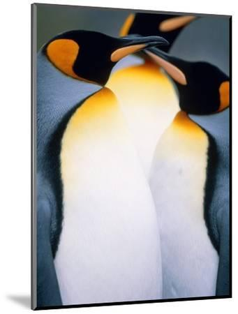 Three king penguins-Theo Allofs-Mounted Photographic Print