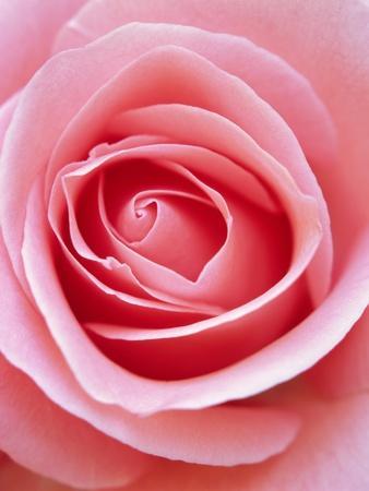 Pink rose-Herbert Kehrer-Framed Photographic Print