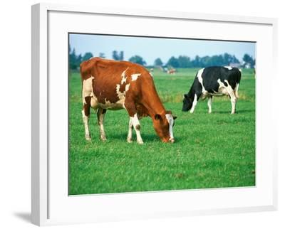 Cows on pasture--Framed Photographic Print