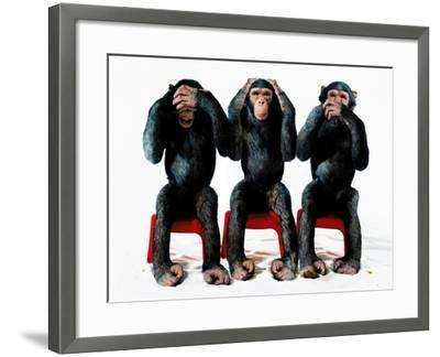 Three chimpanzees-Holger Scheibe-Framed Photographic Print