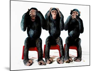 Three chimpanzees-Holger Scheibe-Mounted Photographic Print
