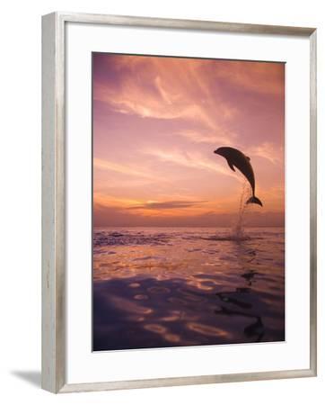 Jumping Bottlenose Dolphin-Stuart Westmorland-Framed Photographic Print