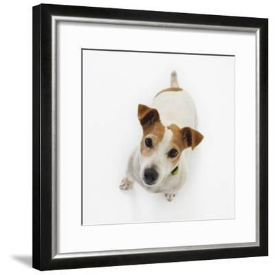 Jack Russell Terrier Looking up-Russell Glenister-Framed Photographic Print