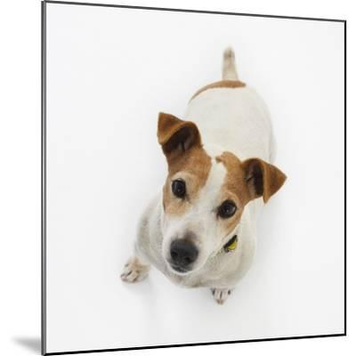 Jack Russell Terrier Looking up-Russell Glenister-Mounted Photographic Print