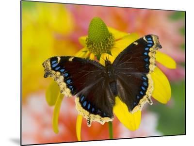 Morning Cloak North American Butterfly-Darrell Gulin-Mounted Photographic Print