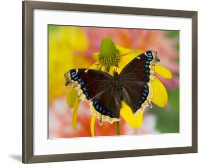 Morning Cloak North American Butterfly-Darrell Gulin-Framed Photographic Print