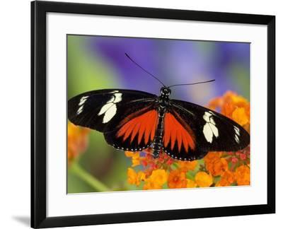 Heliconius Doris in Red Phase Resting on Lantana-Darrell Gulin-Framed Photographic Print