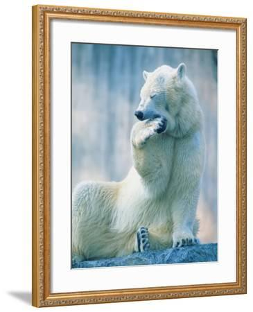 Polar bear yawning in zoo enclosure-Herbert Kehrer-Framed Photographic Print