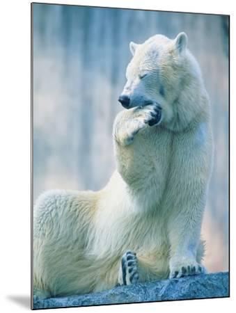 Polar bear yawning in zoo enclosure-Herbert Kehrer-Mounted Photographic Print