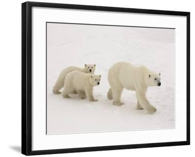 Polar Bear Mother and Cubs-Daniel Cox-Framed Photographic Print