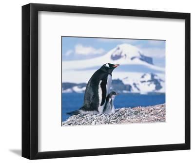 Mother and baby gentoo penguins-Kevin Schafer-Framed Photographic Print