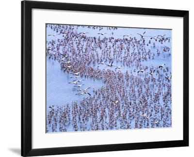Great White Pelicans Fly, Flamingoes Feed in Lake Nakuru-John Eastcott & Yva Momatiuk-Framed Photographic Print
