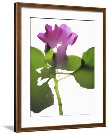 Purple Impatiens-Envision-Framed Photographic Print