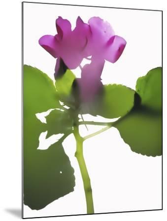 Purple Impatiens-Envision-Mounted Photographic Print
