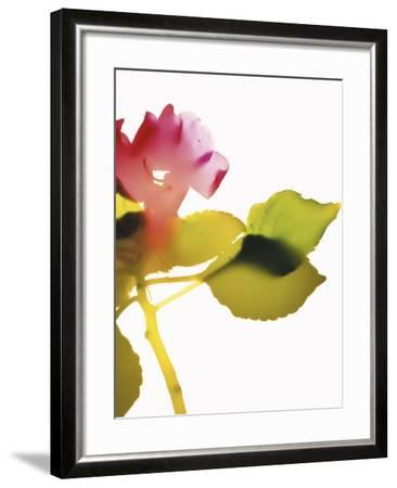 Impatiens-Envision-Framed Photographic Print