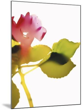 Impatiens-Envision-Mounted Photographic Print