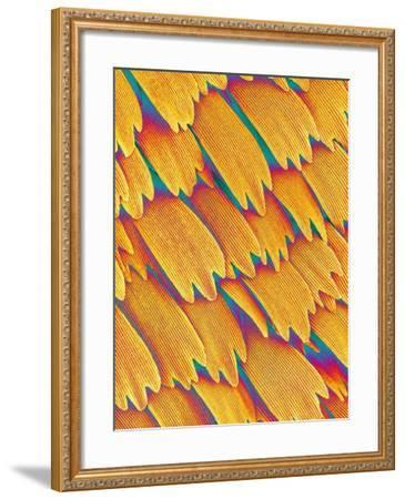 Scales of a Swallowtail Butterfly-Micro Discovery-Framed Photographic Print