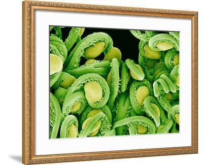 Seed Heads of an Epiphyllum Cactus-Micro Discovery-Framed Photographic Print